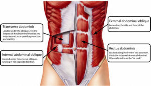 Core Muscles Anatomy Words Of The Week - Human Anatomy Diagram